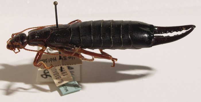Image from Earwig Research Centre